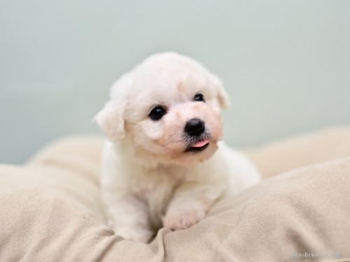 ビションフリーゼの子犬(ID:1263011082)の2枚目の写真/更新日:2019-07-15