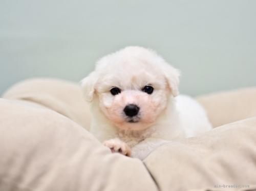 ビションフリーゼの子犬(ID:1263011082)の3枚目の写真/更新日:2018-10-18