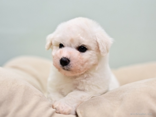 ビションフリーゼの子犬(ID:1263011082)の4枚目の写真/更新日:2018-10-18