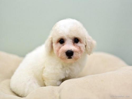 ビションフリーゼの子犬(ID:1263011083)の2枚目の写真/更新日:2019-07-15