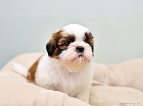 シーズーの子犬(ID:1263011084)の2枚目の写真/更新日:2021-09-08