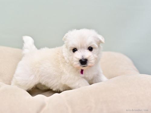 ウエストハイランドホワイトテリアの子犬(ID:1263011085)の2枚目の写真/更新日:2018-11-19