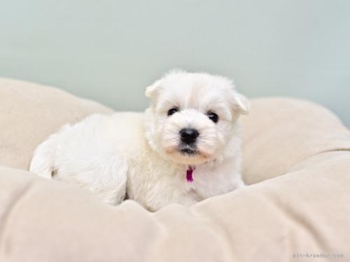 ウエストハイランドホワイトテリアの子犬(ID:1263011085)の3枚目の写真/更新日:2018-11-19
