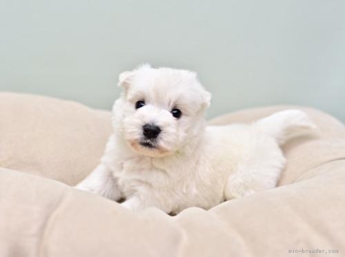 ウエストハイランドホワイトテリアの子犬(ID:1263011085)の4枚目の写真/更新日:2018-11-19