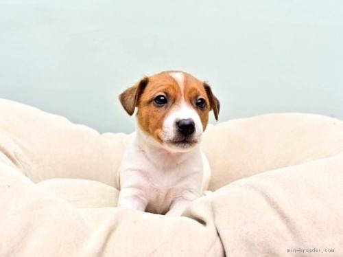 ジャックラッセルテリアの子犬(ID:1263011086)の1枚目の写真/更新日:2018-11-19