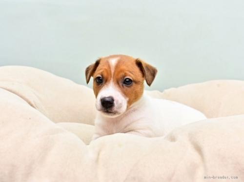ジャックラッセルテリアの子犬(ID:1263011086)の2枚目の写真/更新日:2018-11-19