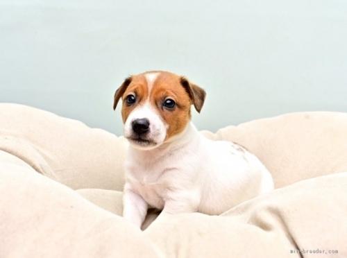 ジャックラッセルテリアの子犬(ID:1263011086)の3枚目の写真/更新日:2018-11-19