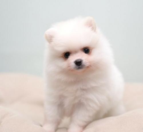 ポメラニアンの子犬(ID:1263011087)の1枚目の写真/更新日:2019-06-14