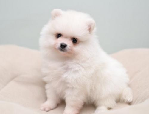 ポメラニアンの子犬(ID:1263011087)の2枚目の写真/更新日:2019-06-14