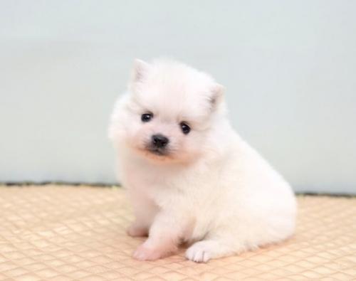 ポメラニアンの子犬(ID:1263011088)の1枚目の写真/更新日:2019-05-19