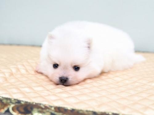 ポメラニアンの子犬(ID:1263011088)の2枚目の写真/更新日:2019-05-19