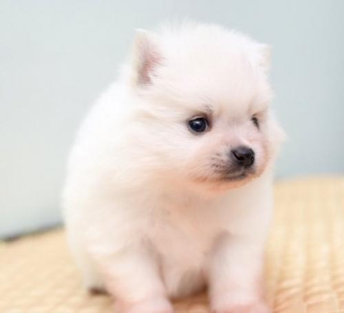 ポメラニアンの子犬(ID:1263011088)の3枚目の写真/更新日:2019-05-19