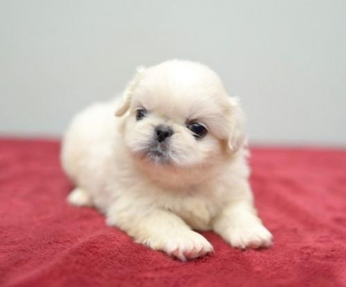 ペキニーズの子犬(ID:1263011089)の1枚目の写真/更新日:2019-07-11