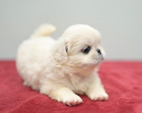 ペキニーズの子犬(ID:1263011089)の2枚目の写真/更新日:2019-07-11