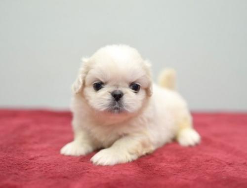 ペキニーズの子犬(ID:1263011089)の4枚目の写真/更新日:2019-07-11