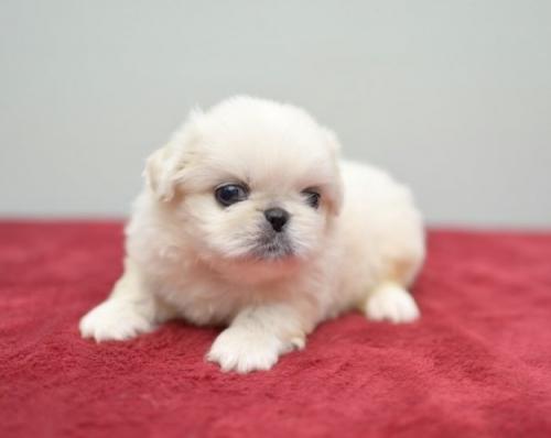 ペキニーズの子犬(ID:1263011091)の1枚目の写真/更新日:2019-07-11