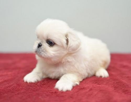 ペキニーズの子犬(ID:1263011091)の2枚目の写真/更新日:2019-07-11