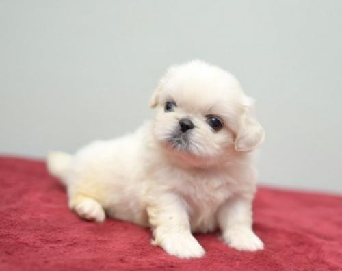 ペキニーズの子犬(ID:1263011091)の3枚目の写真/更新日:2019-07-11