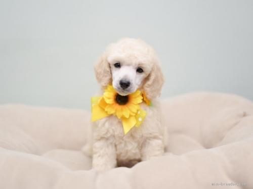 トイプードルの子犬(ID:1263011092)の1枚目の写真/更新日:2019-08-06