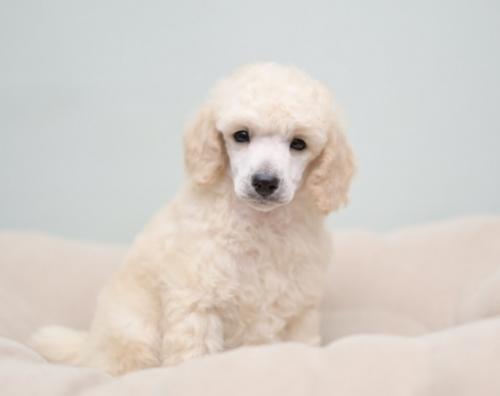 トイプードルの子犬(ID:1263011092)の2枚目の写真/更新日:2019-08-06