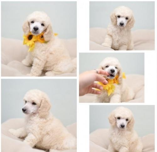 トイプードルの子犬(ID:1263011092)の3枚目の写真/更新日:2019-08-06