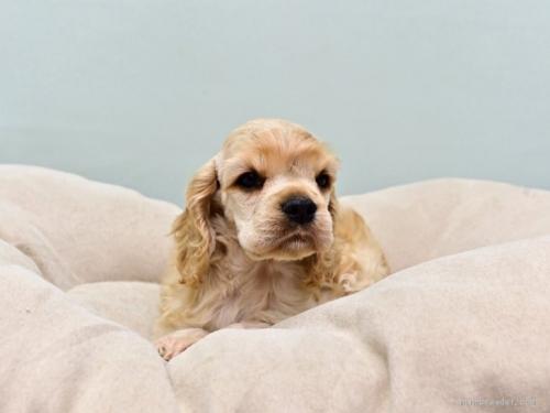 アメリカンコッカースパニエルの子犬(ID:1263011093)の1枚目の写真/更新日:2019-08-06