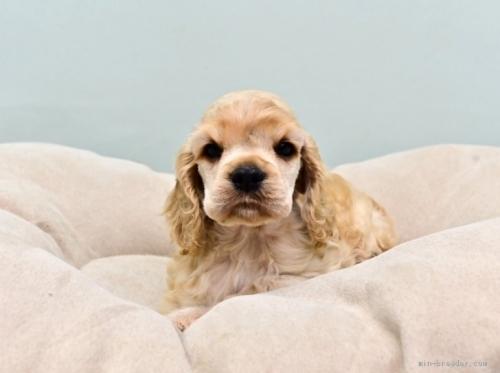 アメリカンコッカースパニエルの子犬(ID:1263011093)の3枚目の写真/更新日:2019-08-06