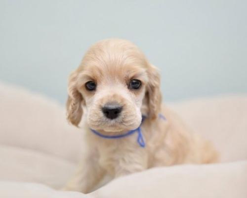 アメリカンコッカースパニエルの子犬(ID:1263011094)の1枚目の写真/更新日:2019-08-06