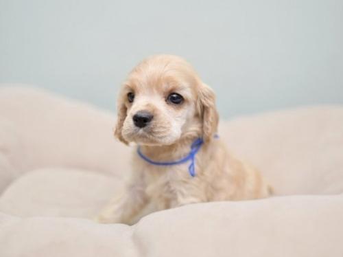 アメリカンコッカースパニエルの子犬(ID:1263011094)の2枚目の写真/更新日:2019-08-06