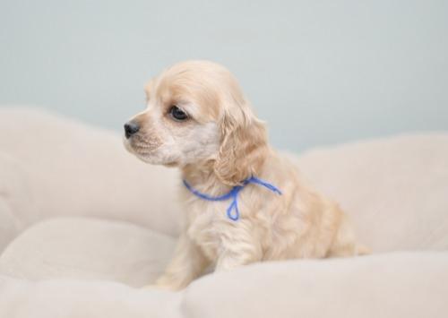 アメリカンコッカースパニエルの子犬(ID:1263011094)の3枚目の写真/更新日:2019-08-06