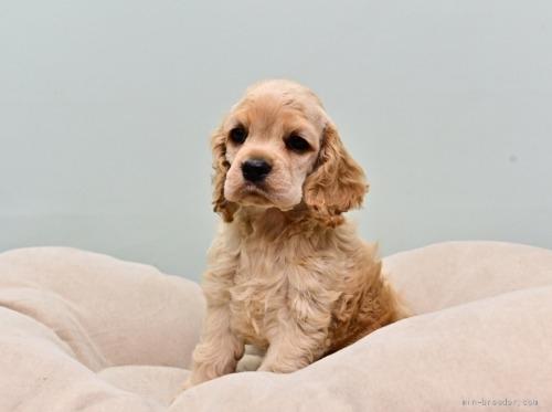 アメリカンコッカースパニエルの子犬(ID:1263011095)の1枚目の写真/更新日:2019-08-06