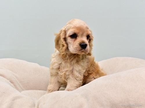 アメリカンコッカースパニエルの子犬(ID:1263011095)の2枚目の写真/更新日:2019-08-06