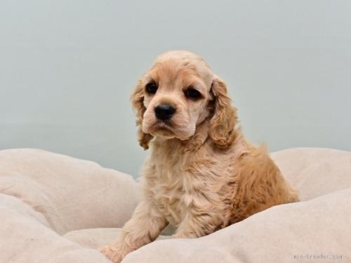 アメリカンコッカースパニエルの子犬(ID:1263011095)の3枚目の写真/更新日:2019-08-06