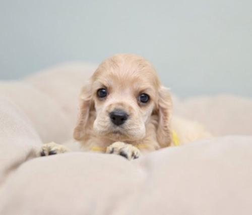 アメリカンコッカースパニエルの子犬(ID:1263011096)の1枚目の写真/更新日:2019-08-06