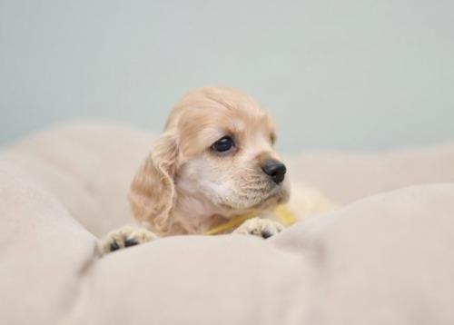 アメリカンコッカースパニエルの子犬(ID:1263011096)の3枚目の写真/更新日:2019-08-06