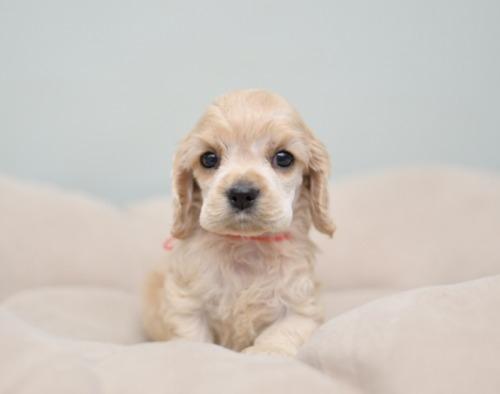 アメリカンコッカースパニエルの子犬(ID:1263011097)の1枚目の写真/更新日:2019-08-06