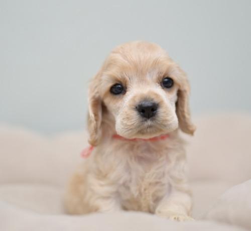 アメリカンコッカースパニエルの子犬(ID:1263011097)の2枚目の写真/更新日:2019-08-06