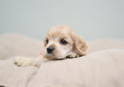 アメリカンコッカースパニエルの子犬(ID:1263011097)の3枚目の写真/更新日:2019-08-06