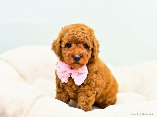 トイプードルの子犬(ID:1263011099)の1枚目の写真/更新日:2021-04-01