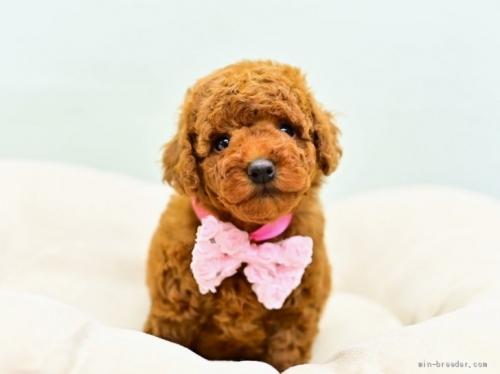 トイプードルの子犬(ID:1263011099)の3枚目の写真/更新日:2021-04-01