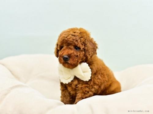トイプードルの子犬(ID:1263011099)の4枚目の写真/更新日:2021-04-01