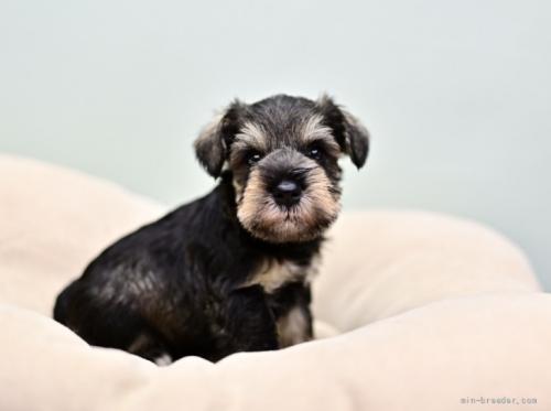 ミニチュアシュナウザーの子犬(ID:1263011100)の1枚目の写真/更新日:2019-09-12