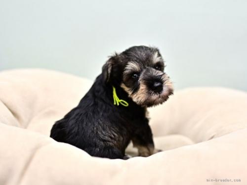 ミニチュアシュナウザーの子犬(ID:1263011100)の2枚目の写真/更新日:2019-09-12