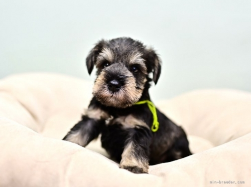 ミニチュアシュナウザーの子犬(ID:1263011100)の3枚目の写真/更新日:2019-09-12