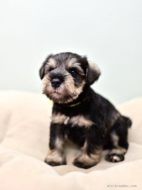 ミニチュアシュナウザーの子犬(ID:1263011100)の4枚目の写真/更新日:2021-10-15