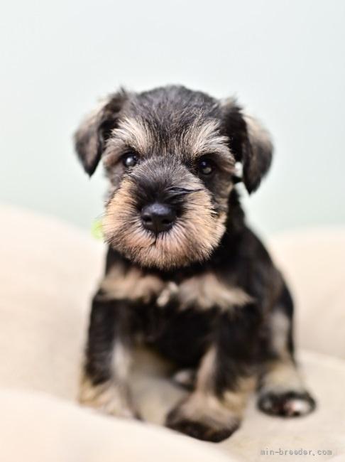 ミニチュアシュナウザーの子犬(ID:1263011100)の5枚目の写真/更新日:2021-10-15