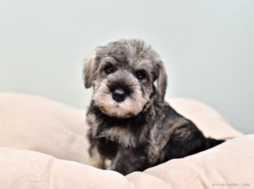 ミニチュアシュナウザーの子犬(ID:1263011101)の2枚目の写真/更新日:2019-09-12