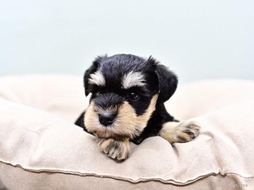 ミニチュアシュナウザーの子犬(ID:1263011102)の1枚目の写真/更新日:2019-11-08