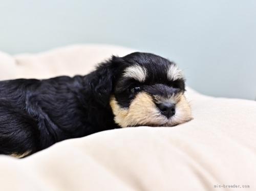 ミニチュアシュナウザーの子犬(ID:1263011102)の2枚目の写真/更新日:2019-11-08