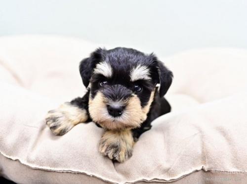 ミニチュアシュナウザーの子犬(ID:1263011102)の3枚目の写真/更新日:2019-11-08